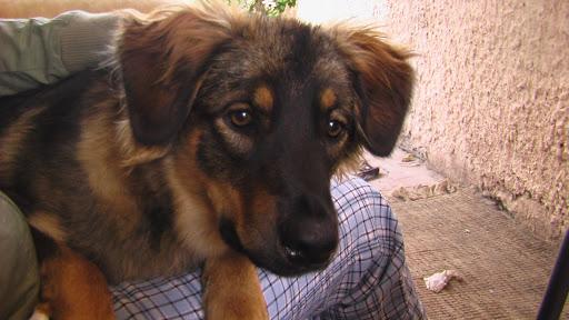 קיקה- הכלבה שטסה לאנגליה